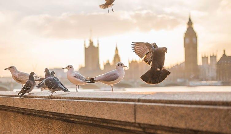 Pájaros en Londres